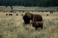 Animal - Bison family at Hayden Valley