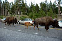 Animals - Bison Family crossing the road
