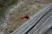 Animal - Dragon Fly