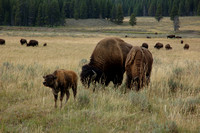 Animals - Bison Family at Hayden Valley