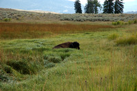 Animals - Bison at rest @ Slough Creek - Lamer Valley