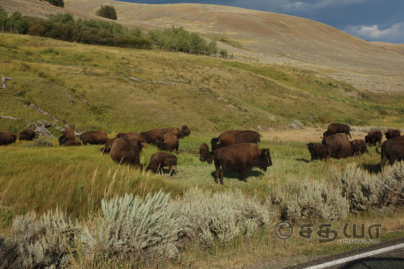 Animals - Bisons grazing @ Lamer Valley